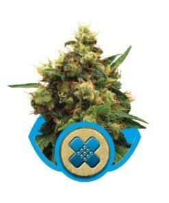 Painkiller XL er en fraragende medicinsk cannabis art, der har utrolig mange fordele. Painkillder besidder en fin balance mellem et højt indhold CBD og et lavt indhold THC.